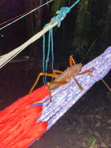 Giant grasshoppers quickly congregated on our mosquito nets.